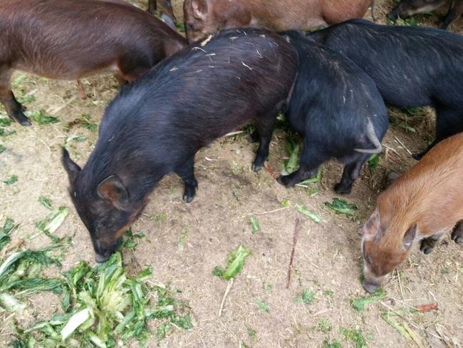 野猪和黑猪杂交育种出来的黑山猪    **:****