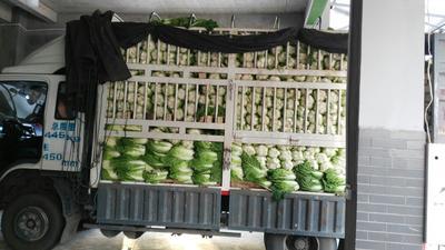四川省泸州市龙马潭区麻叶青白菜 2~3斤 毛菜