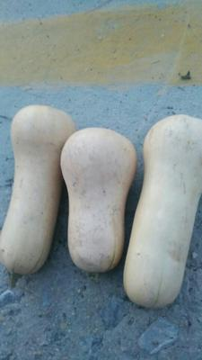 河南省周口市沈丘县奶油南瓜 2~4斤 长条形
