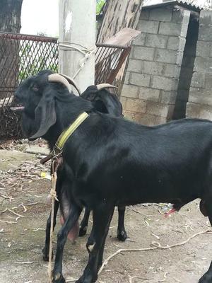 云南昆明黑山羊 30-50斤