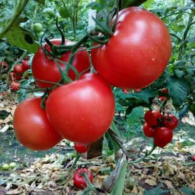山东聊城硬粉番茄 不打冷 硬粉 弧三以上