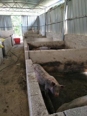 贵州铜仁大约克猪 200-300斤