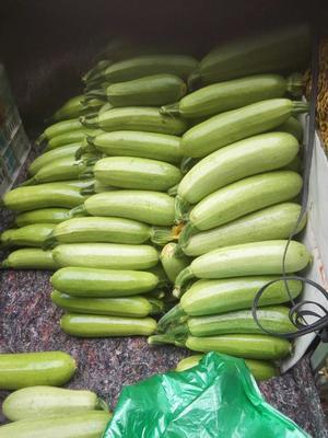 山东聊城绿皮西葫芦 0.8~1斤