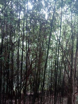 湖南长沙斑竹