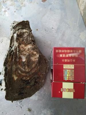 广东潮州汫洲大蚝 野生 1-3只/公斤