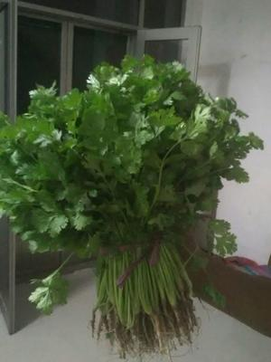山东省聊城市茌平县小叶香菜 15~20cm