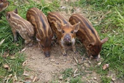 陕西西安生态野猪 统货 160-200斤