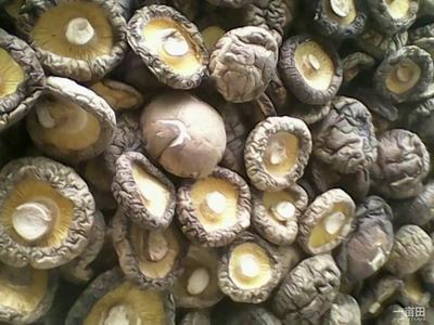 河南南阳剪柄香菇 袋装 半年