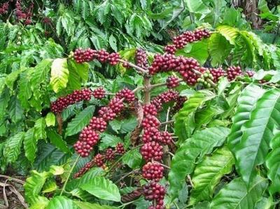 广西防城港东兴市越南咖啡豆