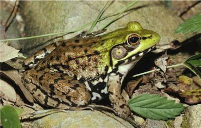 江西鹰潭黑斑蛙
