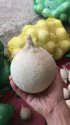 广西南宁高种椰子 2 - 2.5斤