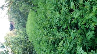 陕西宝鸡紫穗槐
