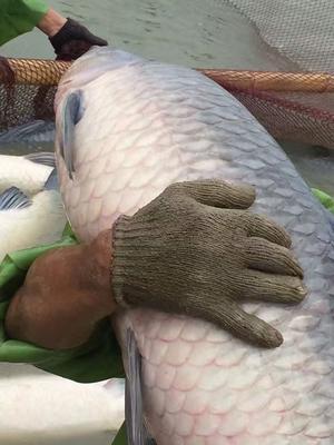湖北荆州淡水青鱼 1.5-6龙8国际官网官方网站 人工养殖