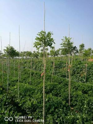 山东省青岛市黄岛区紫藤树 1.5~2米 5公分以上