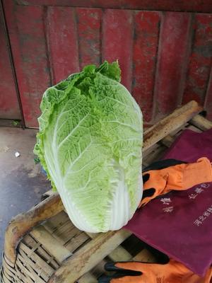 河北张家口黄心大白菜 3~6斤 毛菜 口感独特,纯天然无公害蔬菜!来了绝不后悔