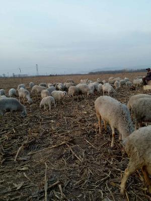 山西忻州绒山羊 80-110斤