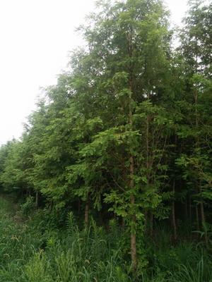 江苏宿迁普通水杉 我这里有云杉,水杉,落羽杉。