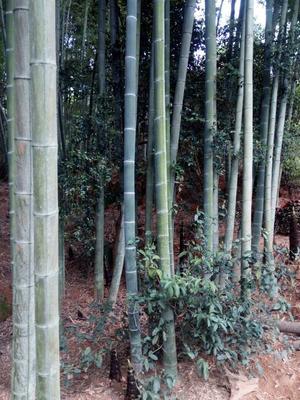 这是一张关于毛竹 竹杆的产品图片