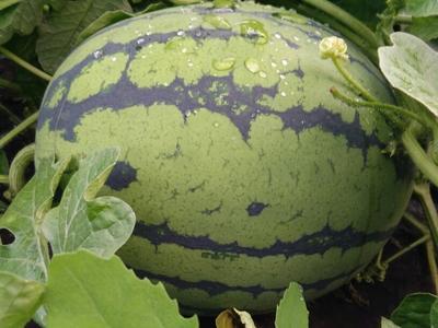 黑龙江哈尔滨西瓜 有籽 1茬 8成熟 10斤打底