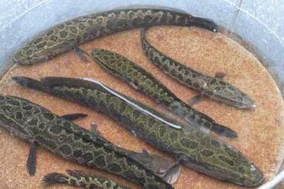 湖北恩施土黑鱼 人工养殖 1-1.5公斤