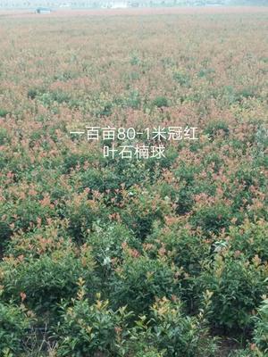 这是一张关于红叶石楠球的产品图片