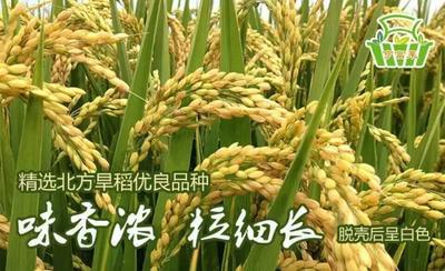 山东烟台大米 一等品 绿色食品 晚稻
