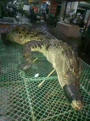 山东济南中国鳄