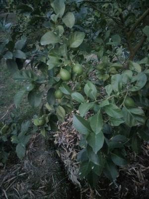 福建省漳州市漳浦县青柠檬 2.7 - 3.2两
