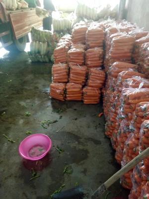甘肃定西三红胡萝卜 5cm以上 15cm以上 2两以上