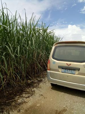 广西崇左牧草 八个月整株甘蔗