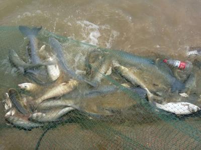 四川成都淡水青鱼 人工养殖 10-18公斤