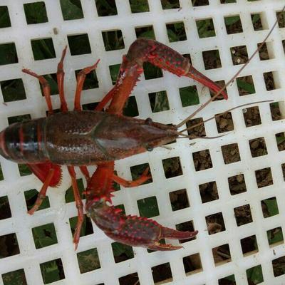 湖北荆州红壳小龙虾 4-6钱 稻田虾 (18-29g)自家养殖加农户合作