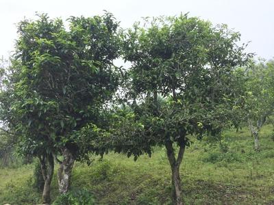 云南临沧普洱生态茶 礼盒装 生茶 古树大树纯料
