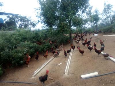 河北保定柴鸡 3-4斤 公 鸡 柴鸡