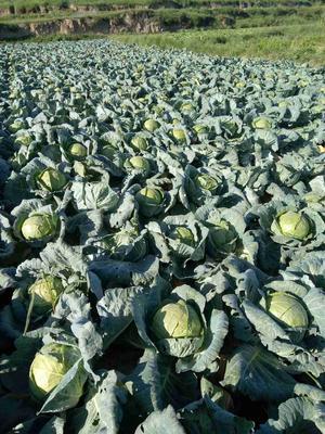宁夏回族自治区固原市西吉县铁头圆包菜 6斤以上