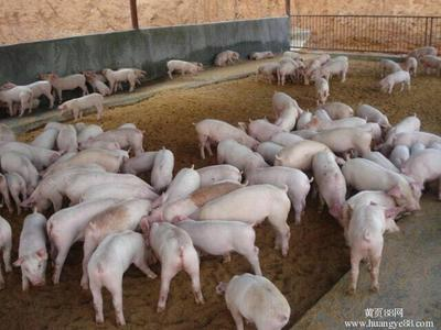 贵州六盘水长白仔猪