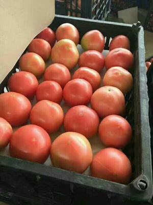 湖北宜昌硬粉番茄 硬粉 通货 不打冷