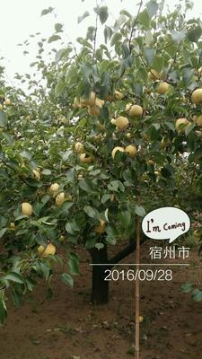 这是一张关于砀山酥梨 70 - 75mm 6-8g的产品图片