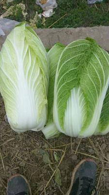 湖北咸宁黄心大白菜 3~6斤