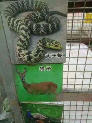 山东济南大王蛇 食用
