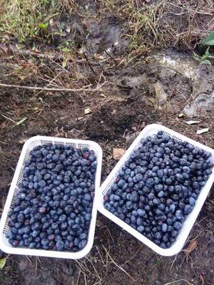 吉林吉林北陆蓝莓 10 - 12mm以上