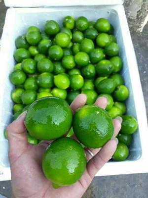广西崇左越南无籽柠檬 1.6 - 2两