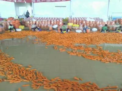 广西南宁三红胡萝卜 15cm以上 3两以上 3~4cm