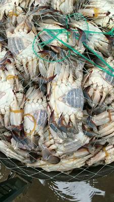 这是一张关于梭子蟹 母蟹 3.5-4.0两的产品图片