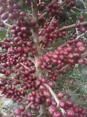 云南思茅云南小粒咖啡豆