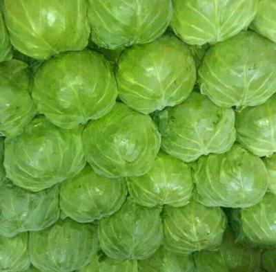 河北邯郸包菜 1.5~2.0斤