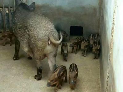 山东菏泽特种野猪 统货 20-30斤