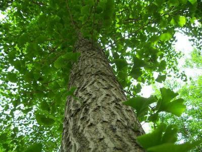 四川巴中银杏实生树
