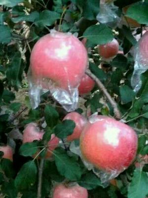 这是一张关于美八苹果 85 - 90mm 片红 纸+膜袋的产品图片