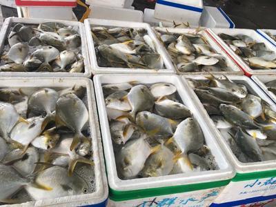 广东阳江肉鯧鱼 1-1.5公斤 人工养殖